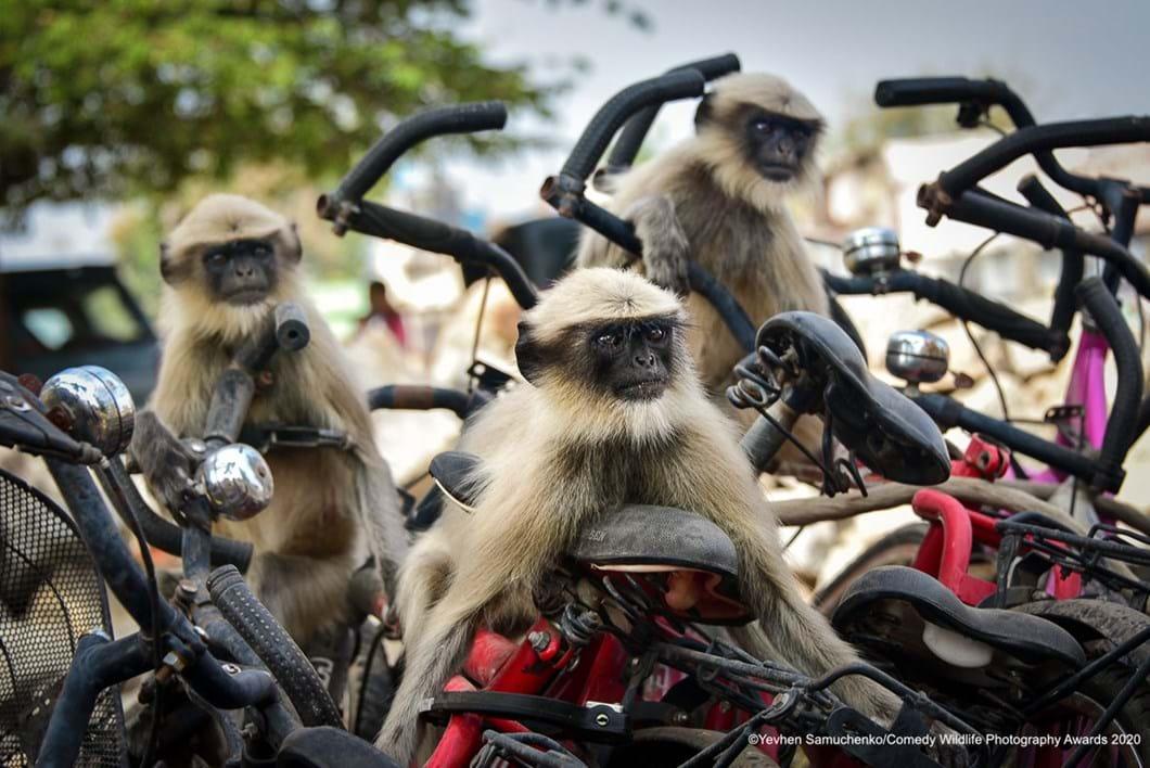 Yevhen-Samuchenko_monkeys-bikes-funny_2020-09-17.jpg