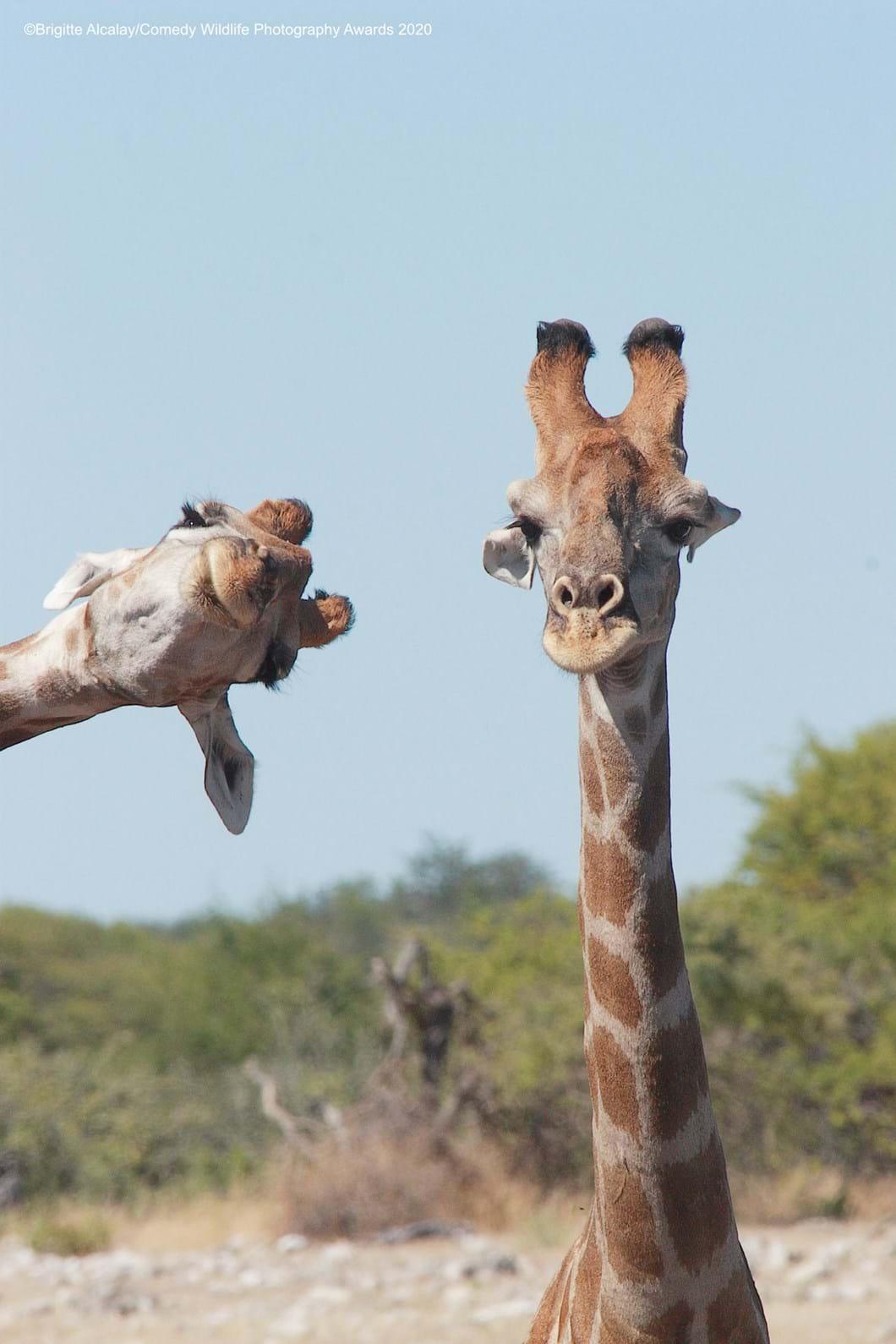 Brigitte-Alcalay-Marcon_giraffe-photobomb_2020-09-17.jpg