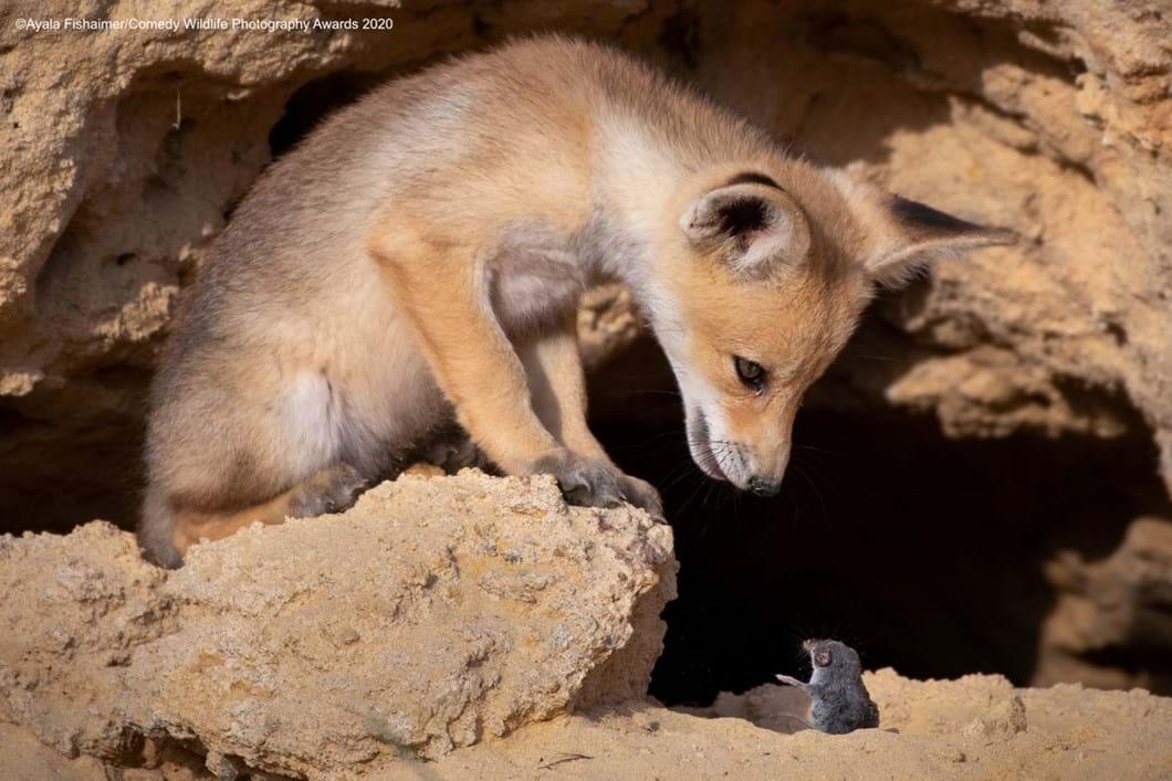 Ayala-Fishaimer_fox-mouse_2020-09-17.jpg