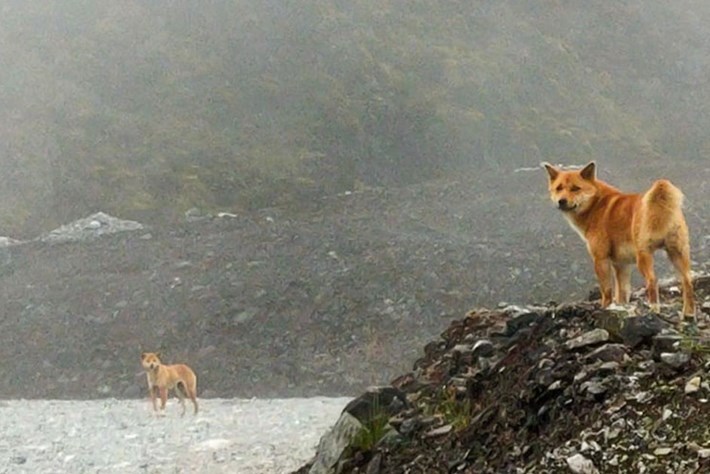 """Rediscovered : New Guinea's """"singing dogs"""" are not extinct after all"""