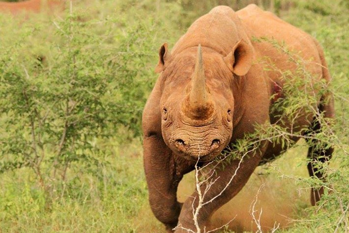 New research: Tracking technology uses rhinos' unique feet to fight poaching