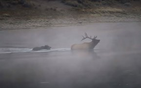 Watch: Grizzly bear takes down elk bull in dramatic, semi-submerged hunt