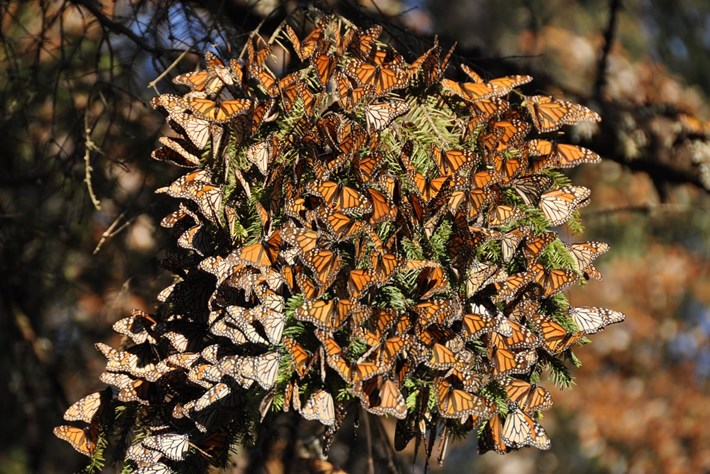 monarch-butterflies-mexico_2020-09-30.jpg