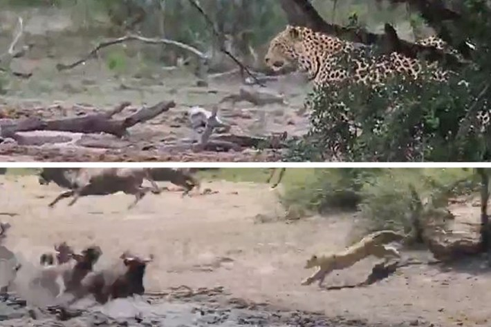 Watch: Leopard stakes out a waterhole for the perfect moment to pounce