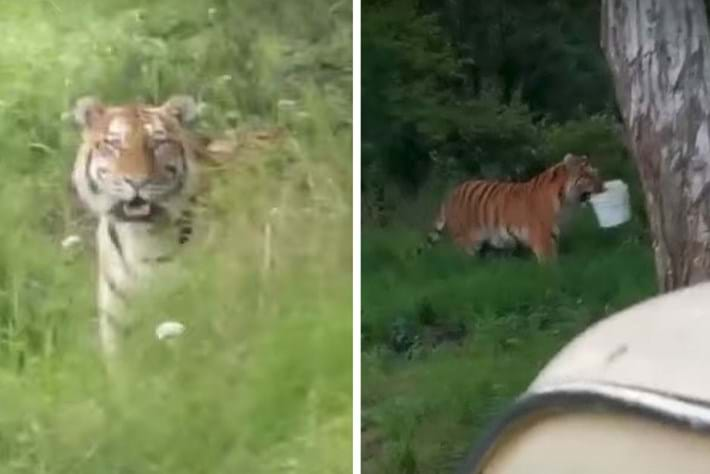 Watch: Why did this tiger steal a bucket from a pair of Russian fishermen? We have some theories.
