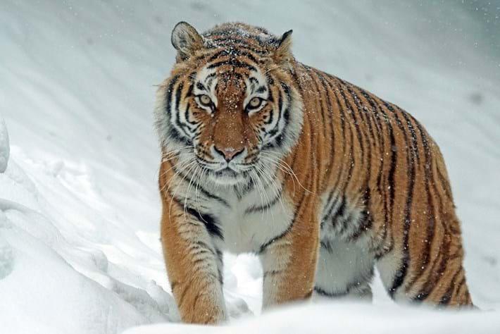 amur-tiger_2020-10-02.jpg