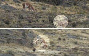 Watch: Puma's rough-and-tumble tussle with a guanaco doesn't go to plan