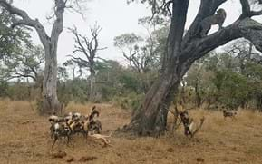 Watch: Painted dogs and hyenas charge in to snatch leopard's meal