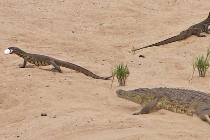 Watch: Crocodile tries (and fails) to protect her eggs from a pair of monitor lizards