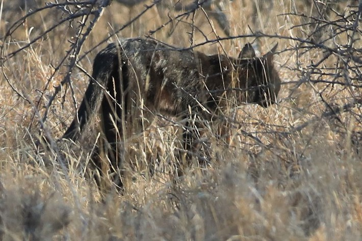Pitch-black wild cat in South Africa's Kruger Park may be a bad omen for its species