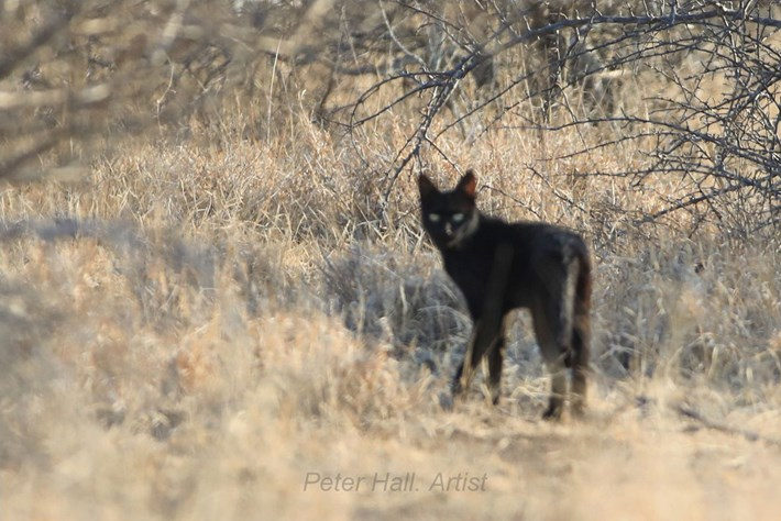 black-african-wild-cat_4_2020-11-04.jpg