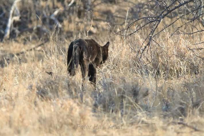 black-african-wild-cat_2020-11-04.jpg