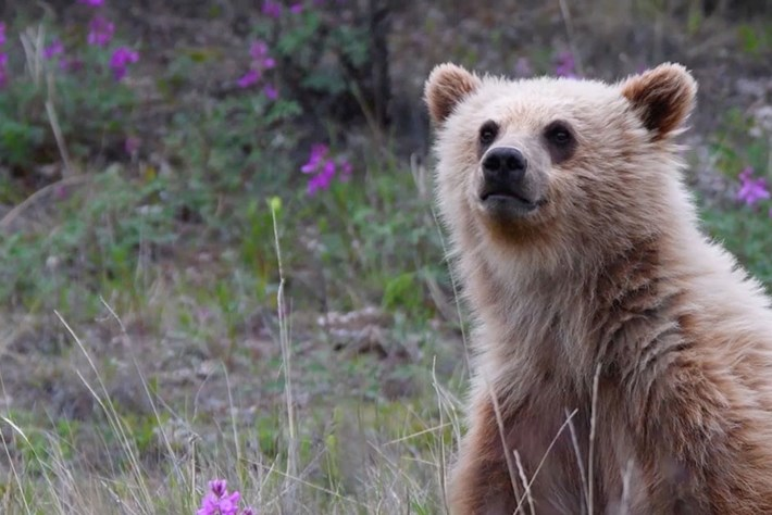 Behind the scenes: Wildlife filmmakers explain their love for bears