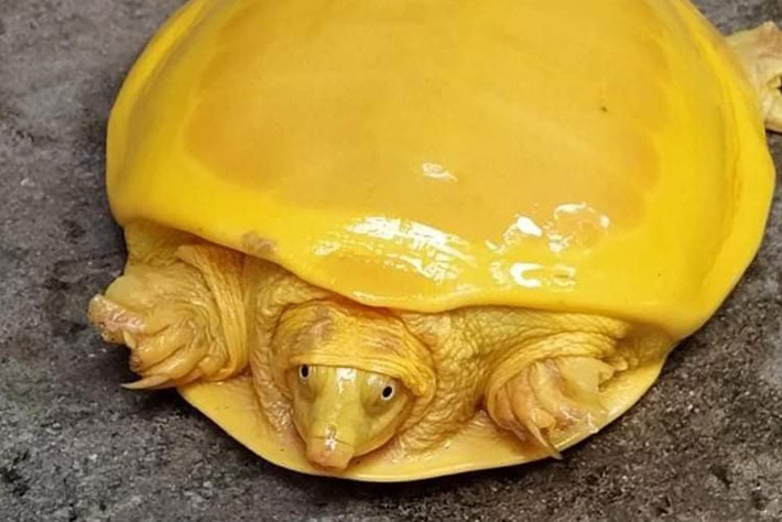yellow-turtle-page_2020-11-11.jpg