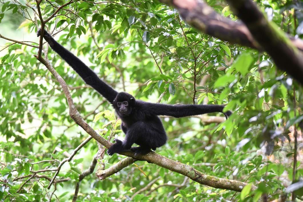 Hainan-Gibbon_2020-11-11.jpg