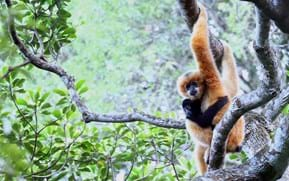The Gibbon's Tail: Ancient stories could help save the world's rarest ape