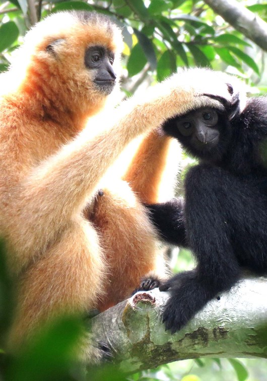 mother_and_baby_gibbon_2020-11-11.jpg