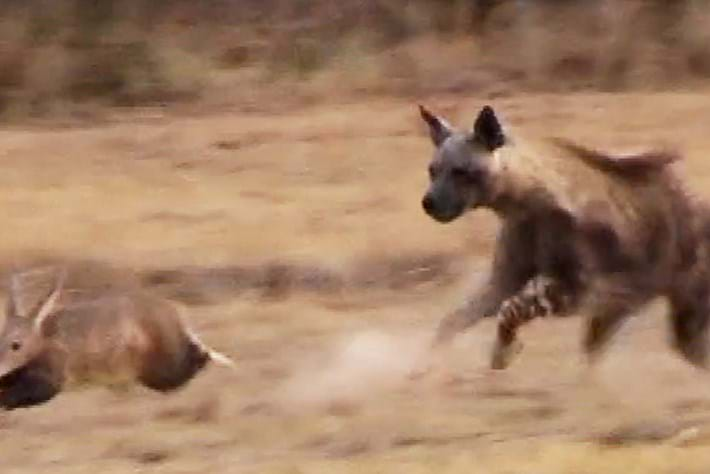 Watch: Aardvark pulls off surprisingly speedy escape from hyena on the hunt
