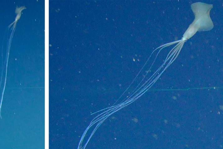 This super rare squid is a deep-sea mystery. We recently spotted not 1, but 5, in the Great Australian Bight