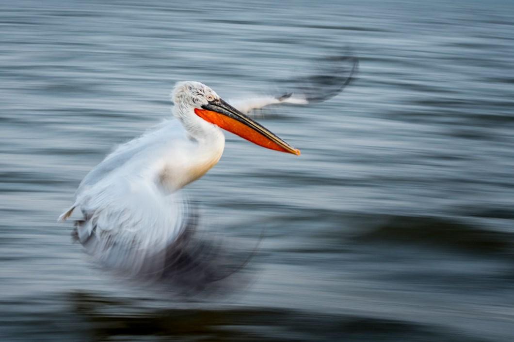 pelican-flight-Alwin-Hardenbol_2020-11-27.jpg