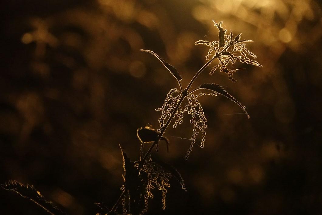 Common-nettle-Sanne-Govaert_2020-11-27.jpg