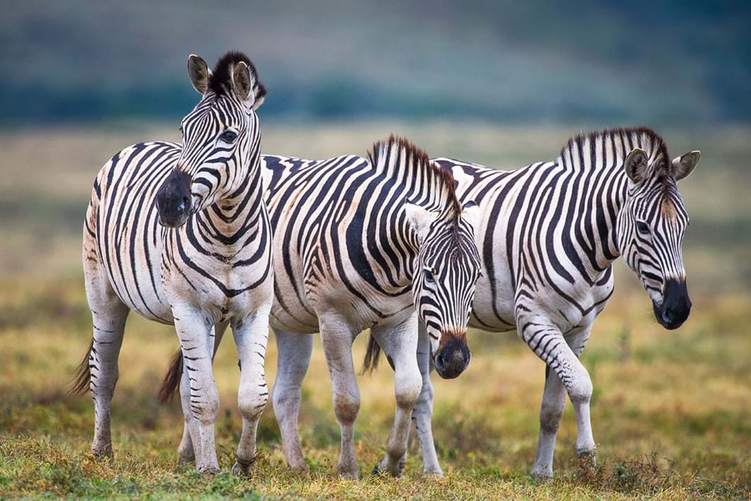 burchells-zebras-addo_2020-11-29.jpg