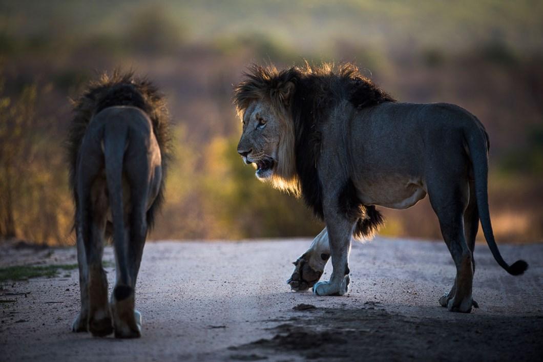 lions_2020-11-29.jpg