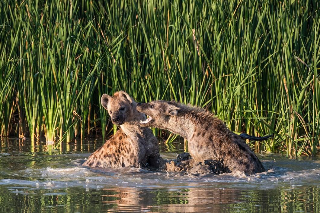 hyenas-water-addo_2020-11-29.jpg