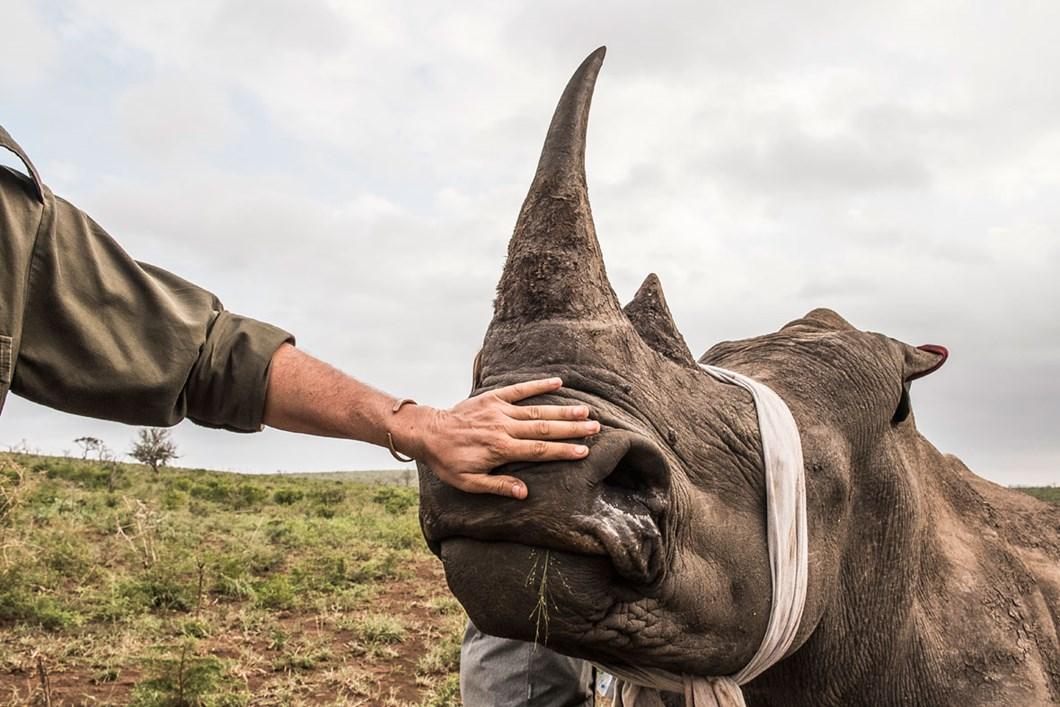 rhino-dehorning_2020-11-29.jpg