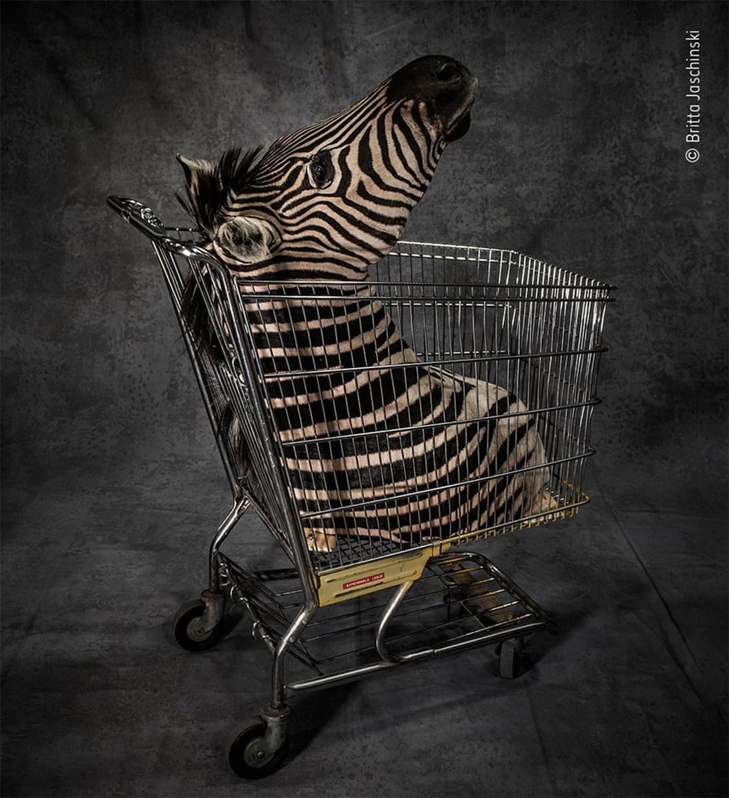 zebra-bust_2020-12-03.jpg