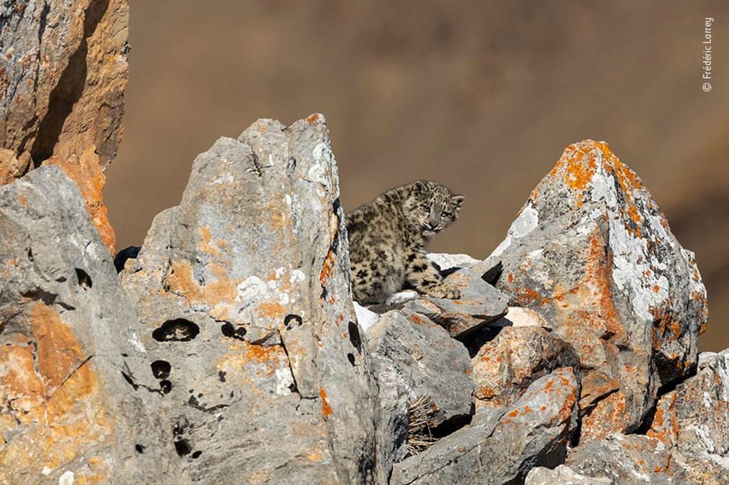 snow-leopard-cub_2020-12-03.jpg