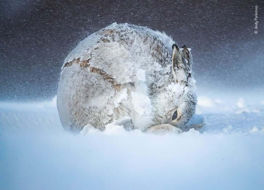 mountain-hare_2020-12-03.jpg