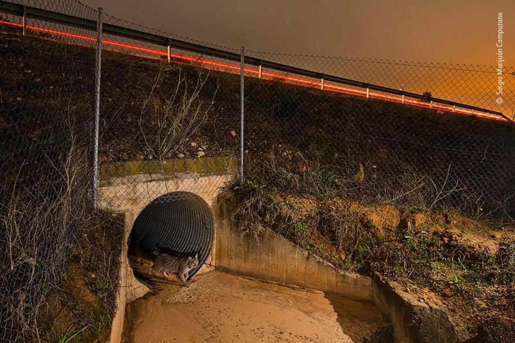 Iberian-lynx_2020-12-03.jpg