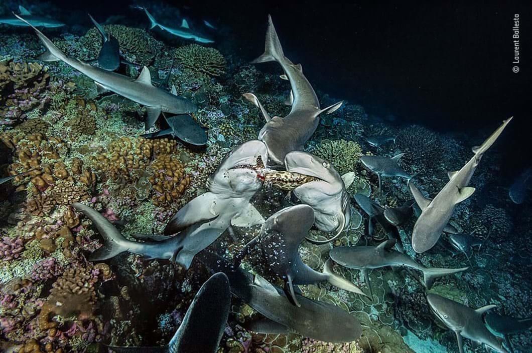 gray-reef-shark_2020-12-03.jpg
