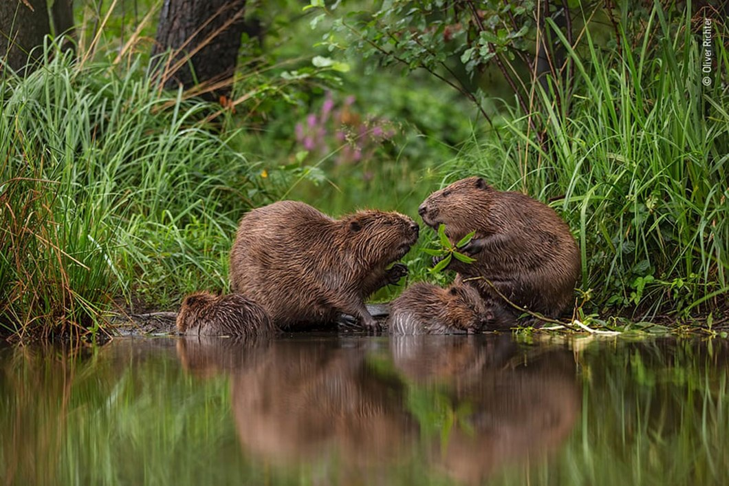 beavers_2020-12-03.jpg