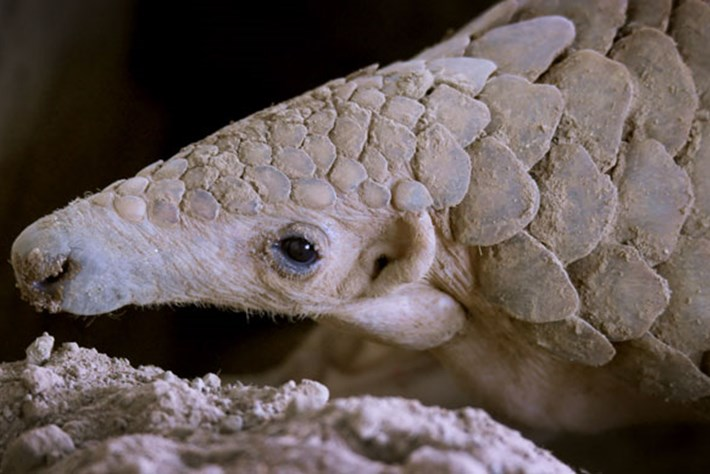 On The Brink – Season 2 – Indian Pangolin