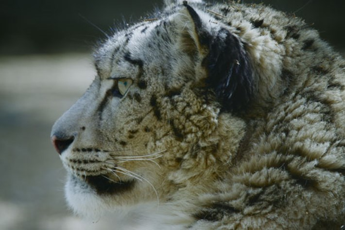 On The Brink – Season 2 – Snow Leopard