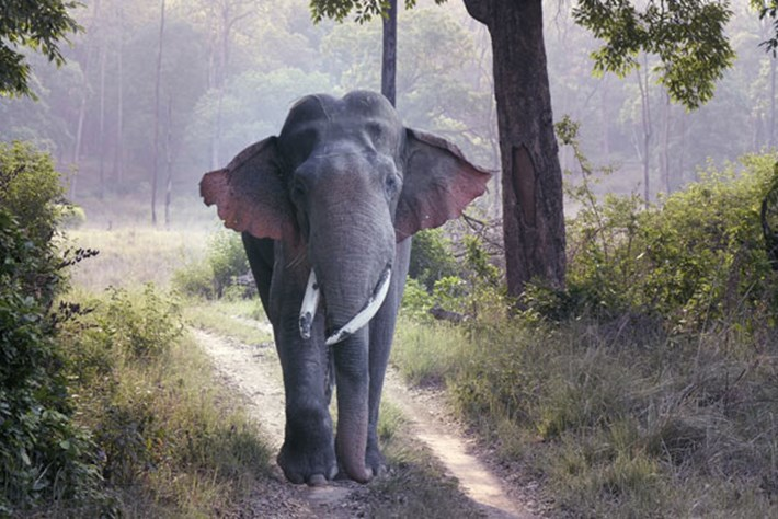 On The Brink – Season 2 – Asian elephant