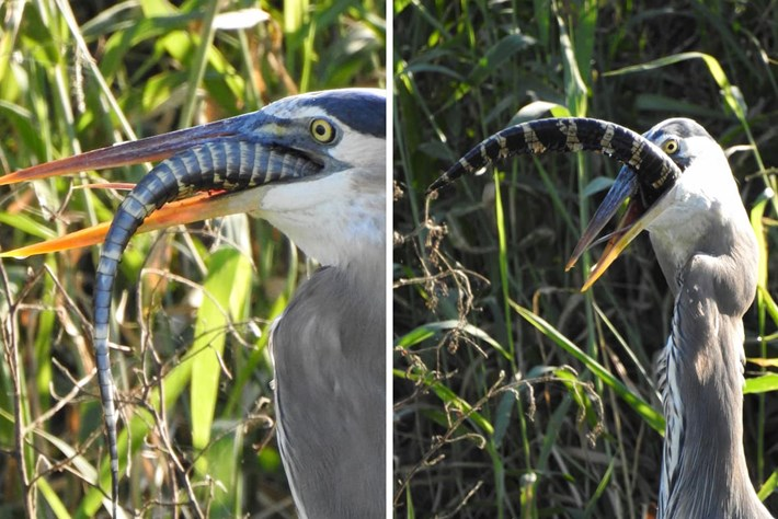 Heron-alligator_11&12_2020-12-11.jpg