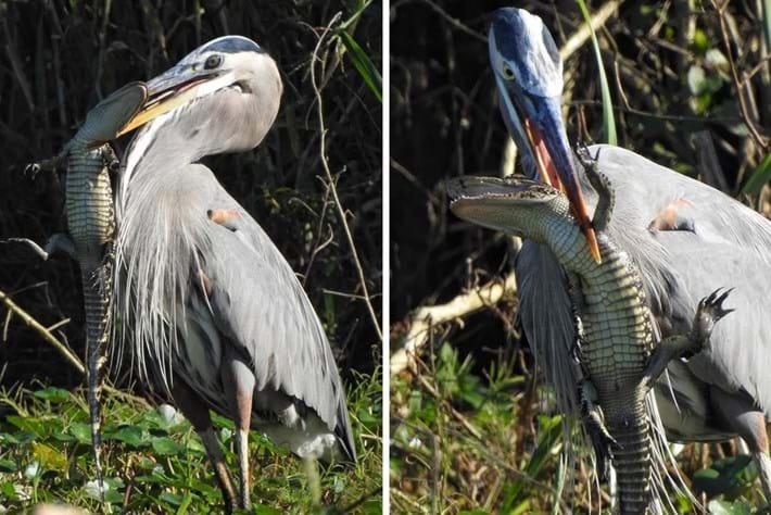 Heron-alligator_5&6_2020-12-11.jpg
