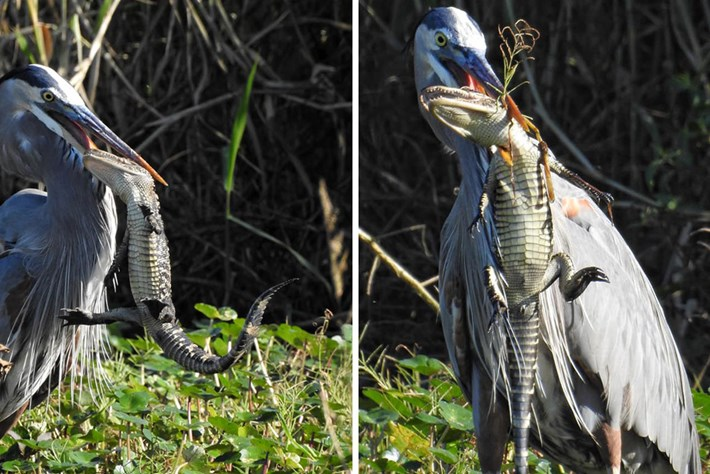 Heron-alligator_1&2_2020-12-11.jpg