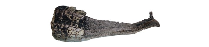 Regenerated-Alligator-Tail_2020-12-11.jpg