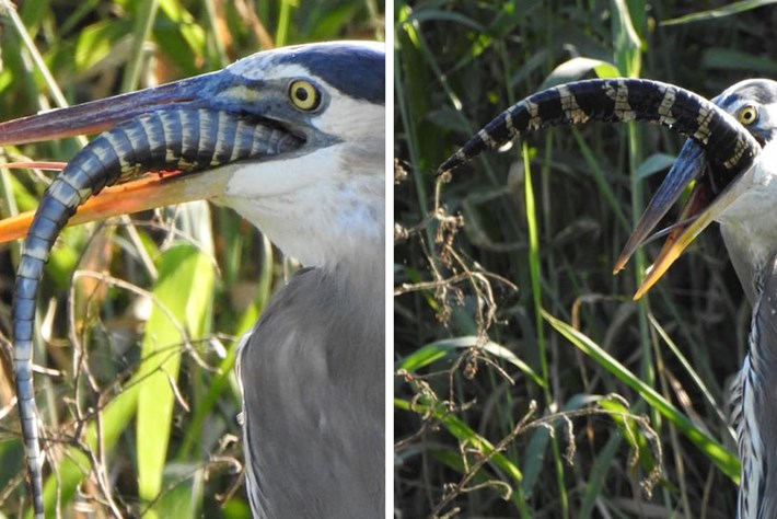 New research shows that young alligators can regrow their tails (a useful trait when herons are on the hunt)