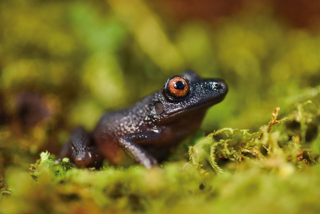 devil-eyed-frog_2020-12-16.jpg