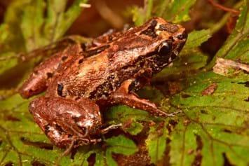 lilliputian-frog_2020-12-16.jpg