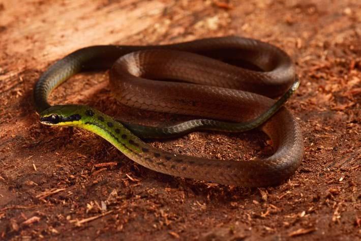 Bolivian-flag-snake_2020-12-16.jpg