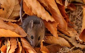 Baby mice 'shut down' to survive extreme cold on the highest mountain tops