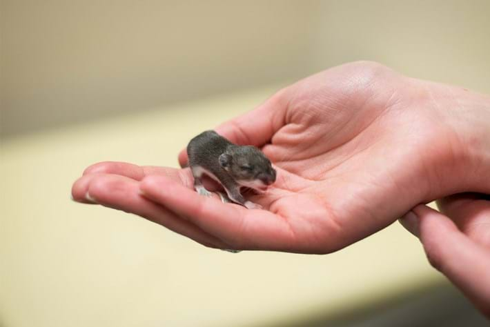 baby-yellow-rumped-leaf-eared-mouse_2020-12-21.jpg