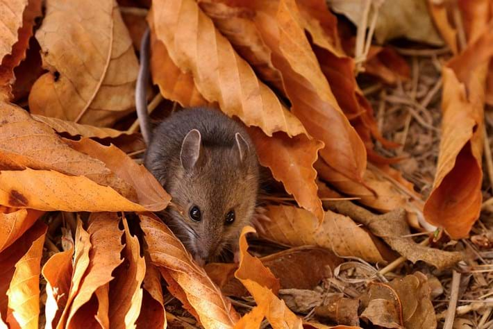 yellow-rumped-leaf-eared-mouse_2020-12-21.jpg