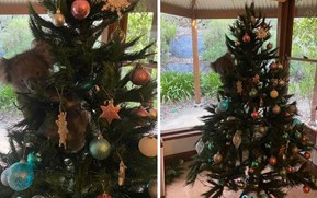 Xmas Down Under: Family finds koala hanging out in their Christmas tree (video)